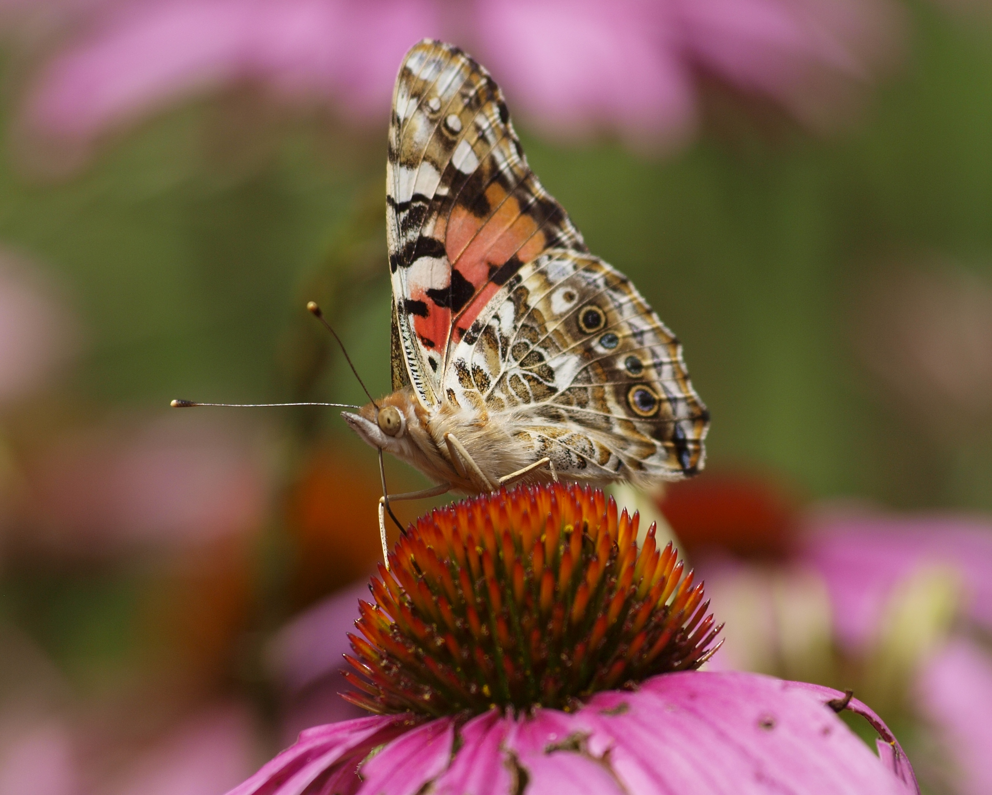 A butterfly sits on a flower on the Nature Center property.